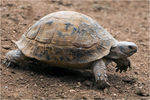 Title: A tortoise from Gaziantep