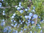 Title: Pine Blueberries