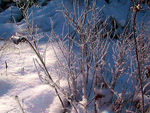 Title: Frosted Twigs