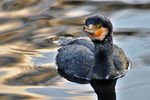 Title: Great CormorantNikon D300