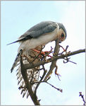 Title: African Pygmy-falcon