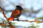 Title: African Paradise Flycatcher