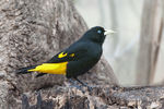 Title: Yellow-rumped Cacique