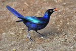 Title: R�ppell's Starling