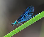 Title: Beautiful Demoiselle