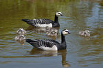 Title: Barnacle Geese