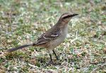 Title: Chalk-browed Mockingbird