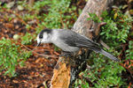 Title: Gray Jay