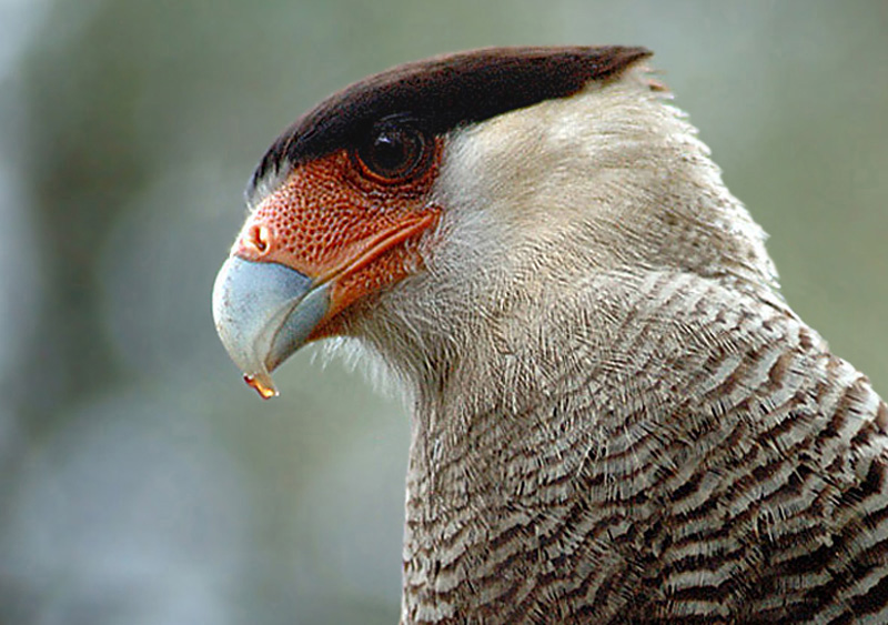 Crested (Southern) Caracara