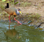 Title: Grey-necked Wood Rail