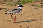 Title: Pied Plover