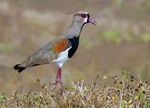 Title: Southern Lapwing calling