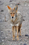 Title: Coyote