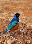 Title: Superb Starling 2