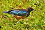 Title: Superb Starling juvenile