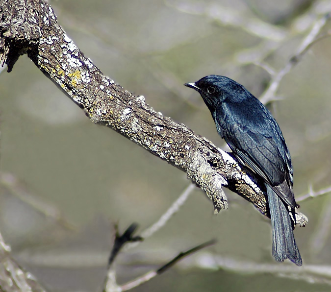 Square-tailed Drongo