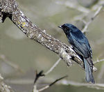 Title: Square-tailed Drongo