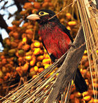 Title: Double-toothed Barbet