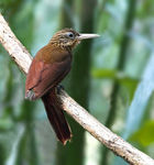 Title: Buff-throated Woodcreeper