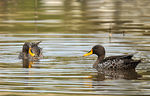 Title: Yellow-billed Duck