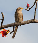 Title: Yellow-billed Shrike