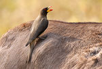 Title: Yellow-billed Oxpecker