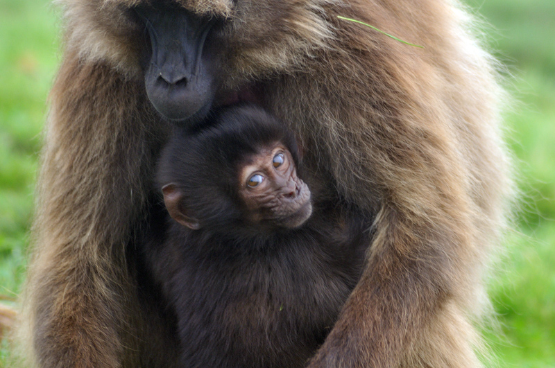 Gelada youngster