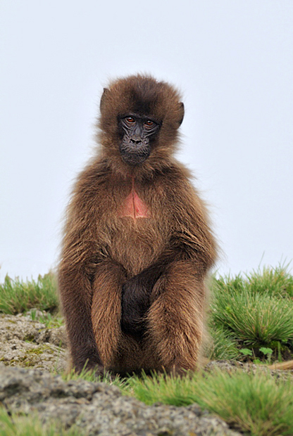 Young male Gelada