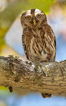 Title: Pearl-spotted Owlet