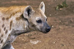 Title: Spotted Hyena