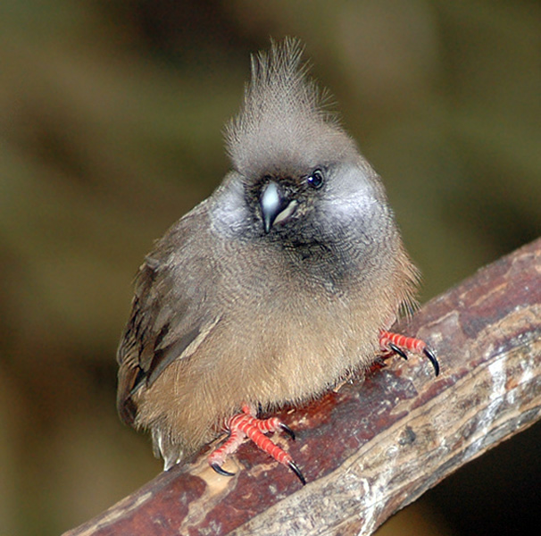 Speckled Mousebird2