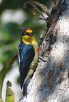 Title: Yellow-fronted  WoodpeckerNikon D70