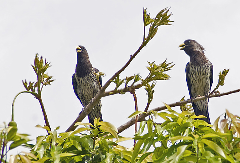 Western Plantain-eaters