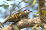 Title: Green-barred Woodpecker