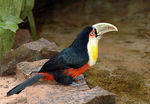 Title: Red-breasted Toucan