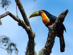 Title: Red-breasted ToucanNikon D70