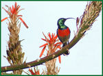 Title: Greater Double-collared Sunbird