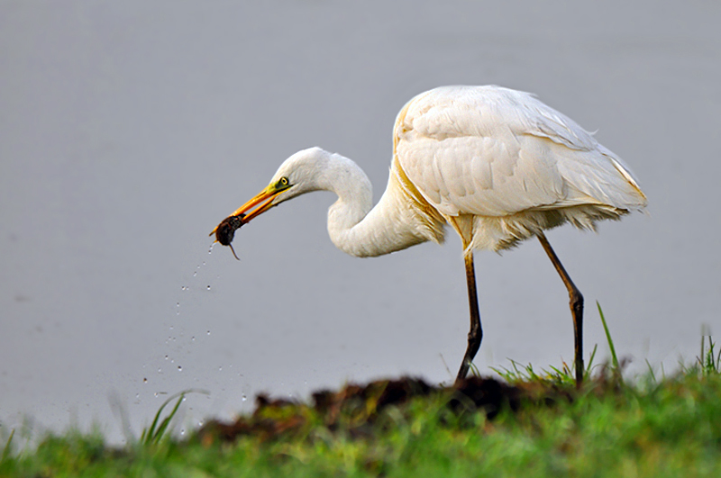 Great White Egret with snack