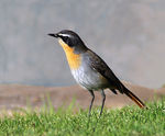 Title: Cape Robin-Chat