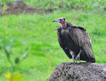 Title: Hooded Vulture in the rainNikon D300