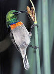 Title: Lesser Double-collared Sunbird