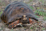 Title: Red-footed Tortoise