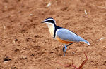 Title: Egyptian Plover