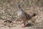 Title: Crested Francolin