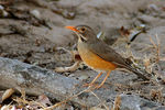 Title: Kurrichane Thrush Camera: Nikon D70