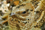 Title: Long-tailed Nightjar