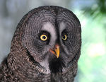 Title: Great Grey Owl