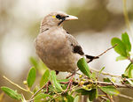 Title: Wattled Starling