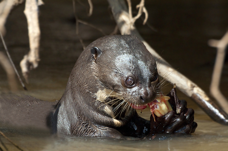 Fish eating Neotropical Otter