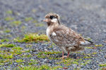 Title: Arctic Tern chick